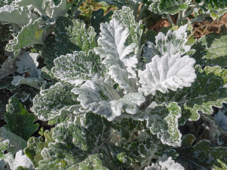 Senecio Dusty Miller