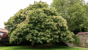 Chestnut tree, Castanea