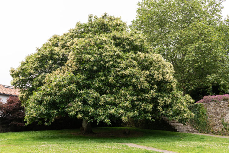 Chestnut tree, Castanea