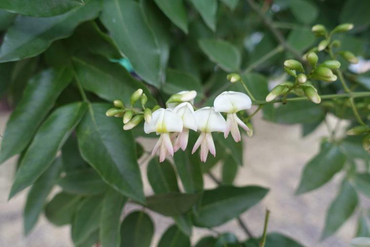 Flowers of Sophora japonica