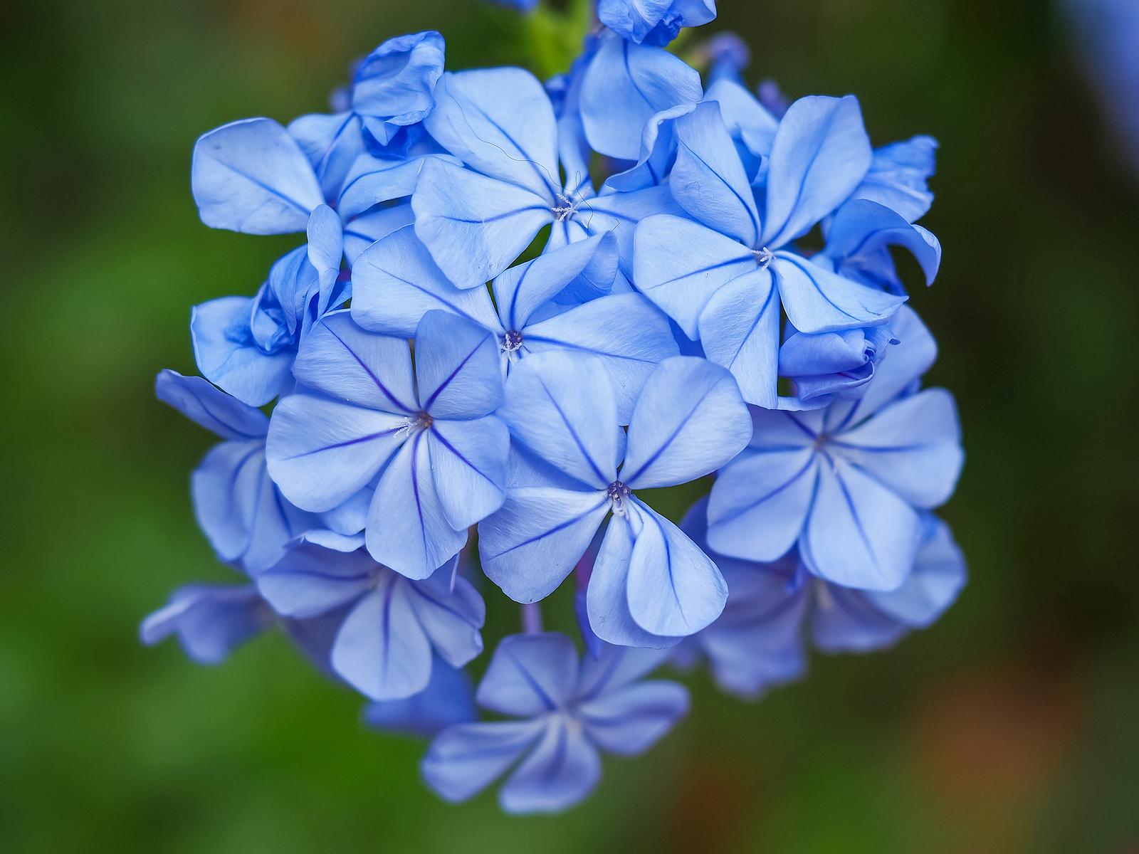 Flower cluster of Cape Plumbago