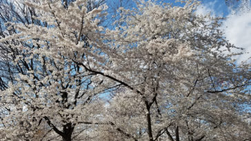 Yoshino flowering cherry