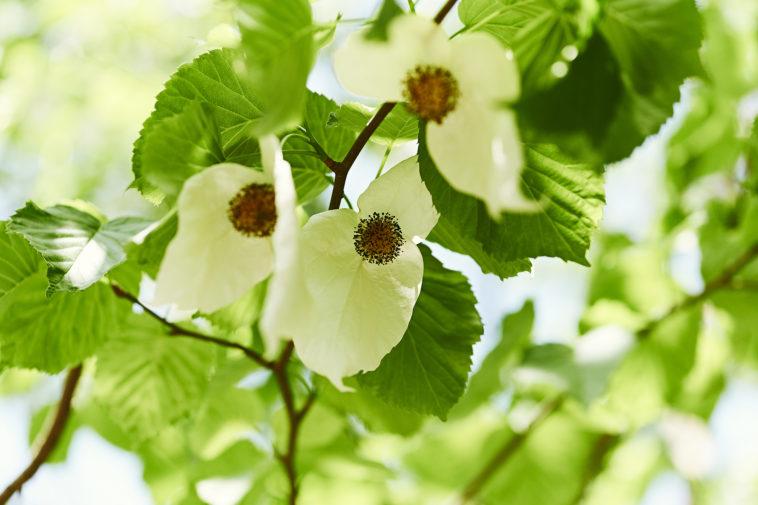 Dove tree blooms