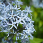 Amsonia flower