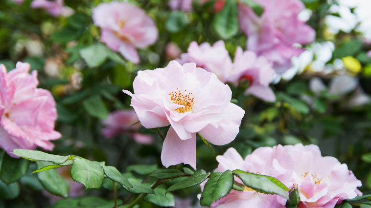 Spring-blooming Camellias