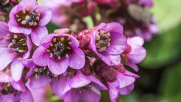 Bergenia blossoms