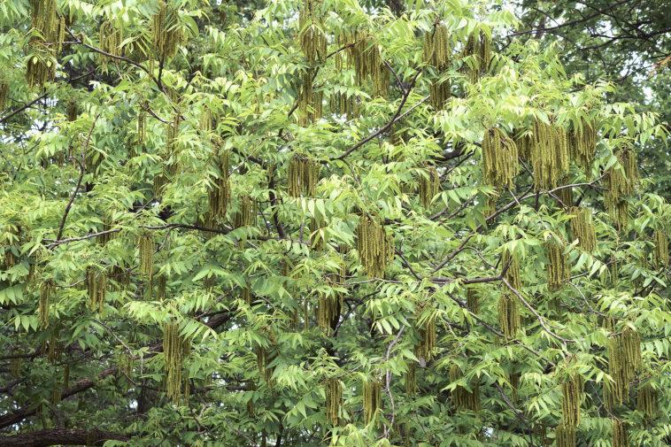 Leaves of Carya