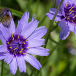 Catananche