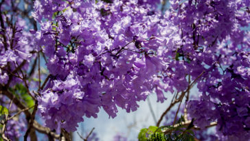 Jacaranda tree blooming