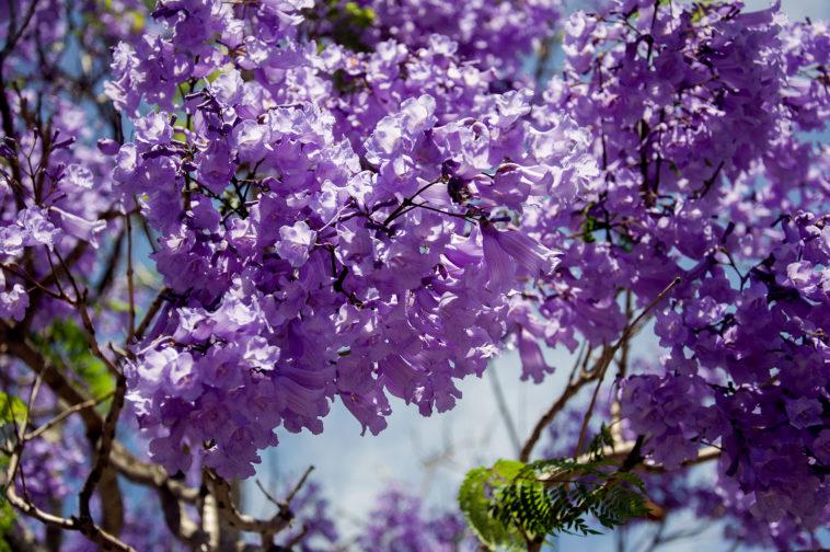 Jacaranda tree blooming
