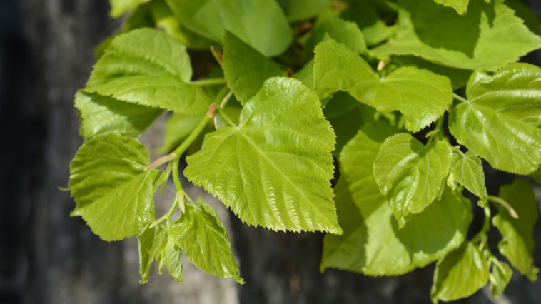 Leaves of Tilia tree