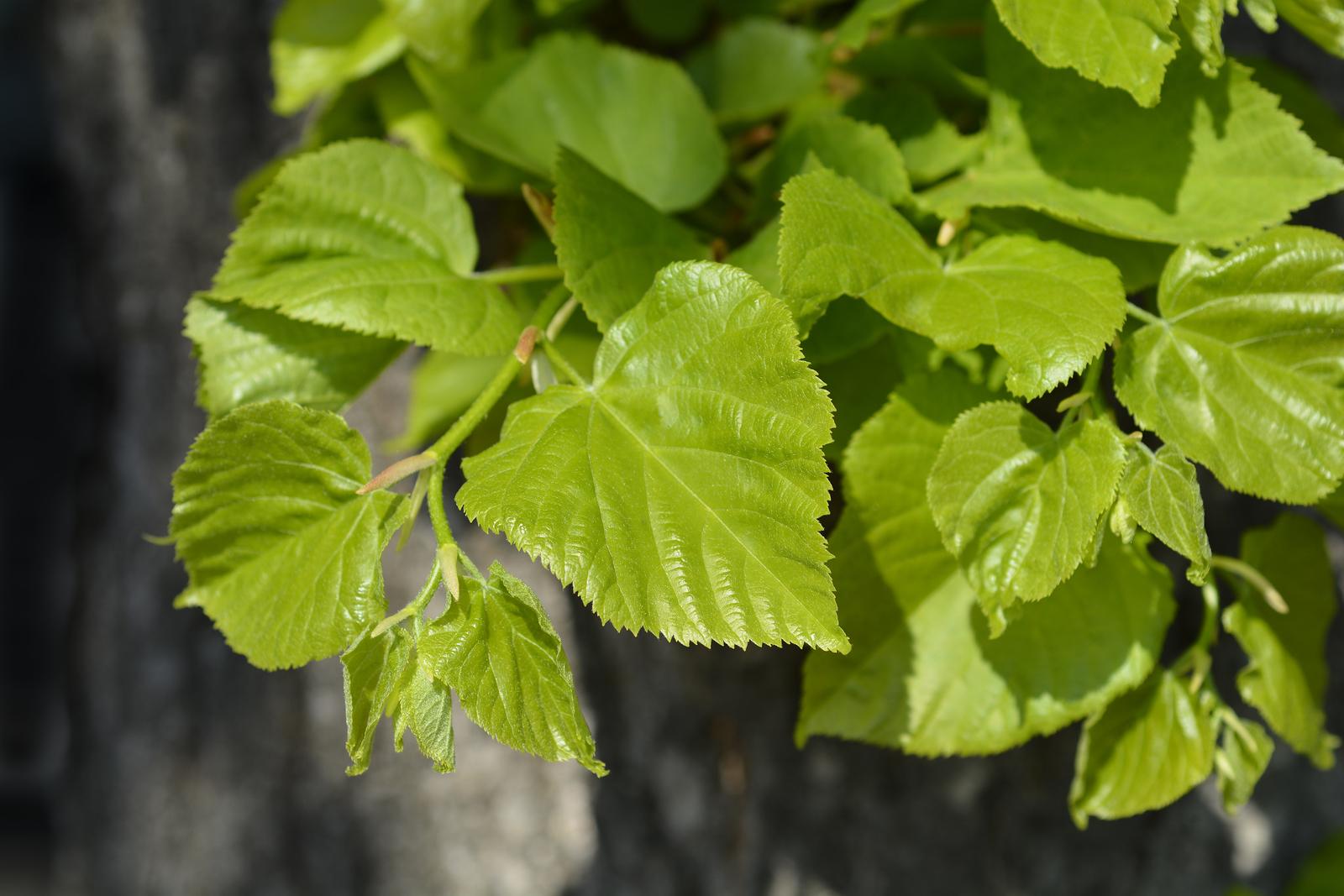 Leaves of Tilia tree