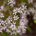 Melia flowers