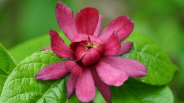 Calycanthus flower