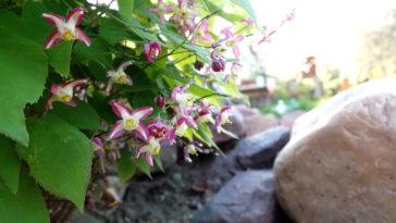Epimedium blooming