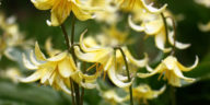 Yellow flowers of a Erythronium
