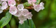 Mountain laurel, Kalmia latifolia