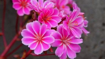 Lewisia flowerr