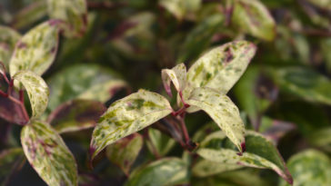 Leaves of drooping Leucothoe.