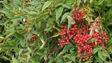 Nandina leaves and berries