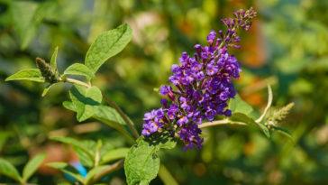 Vitex agnus-castus flowers, also called Chasteberry
