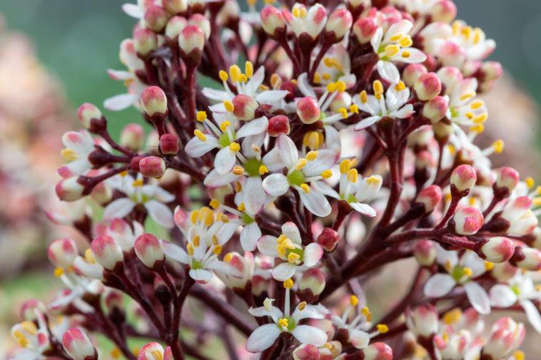 Skimmia flowers in bloom