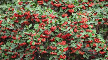 Cotoneaster with fall berries