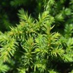 cryptomeria leaves