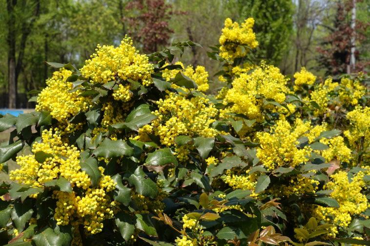 Mahonia aquifolium flowering in spring