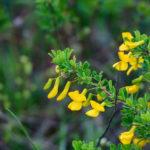 Genista flowers