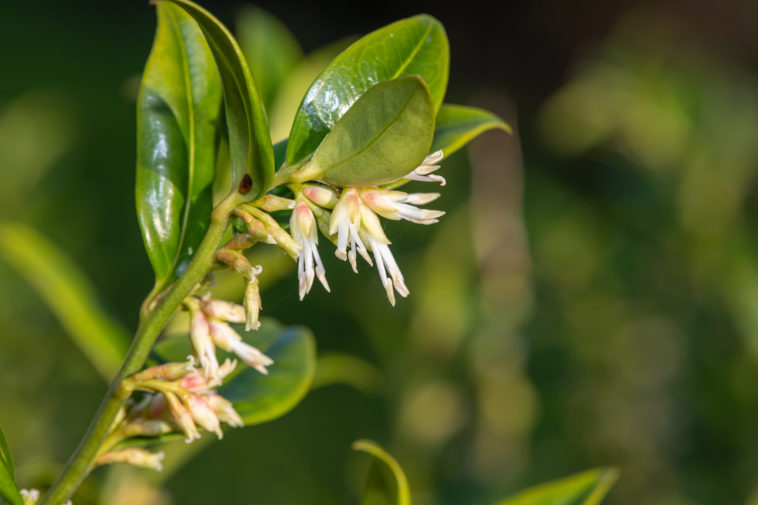 Sarcococca blossoms in spring