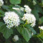 Physocarpus opulifopius, commonly called ninebark