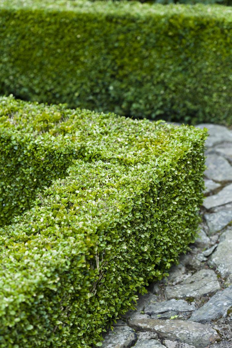 Buxus sempervirens low hedge