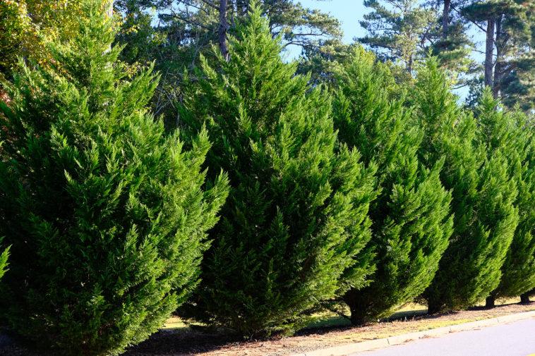 Leyland Cypress as a hedge