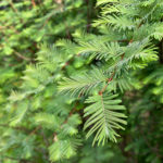 Branch Of Taxus Baccata (english Yew Or European Yew)