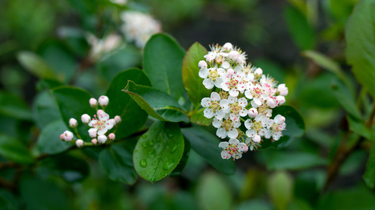 White flowers of Aronia melanocarpa
