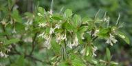Elaeagnus umbellata