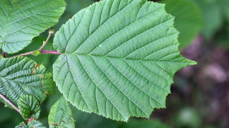 Hazel (Corylus avellana) tree leaves