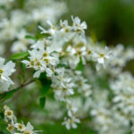 Blooming Exochorda pearl bush