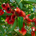 Coral tree flowers