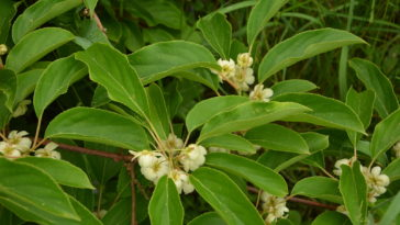 Flower and leaves of the baby kiwi berry fruit, Actinidia arguta