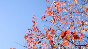 Sapium leaves in autumn