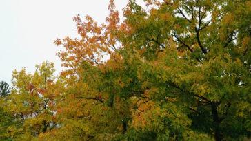 Morus alba autumn color