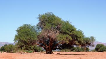 Large Prosopis chilensis tree