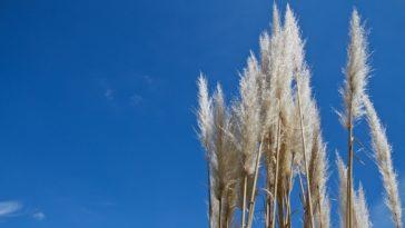 Helictotrichon, blue oat grass