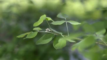 Shrubby bushclover, Lespedeza bicolor