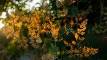 Macleaya cordata flower