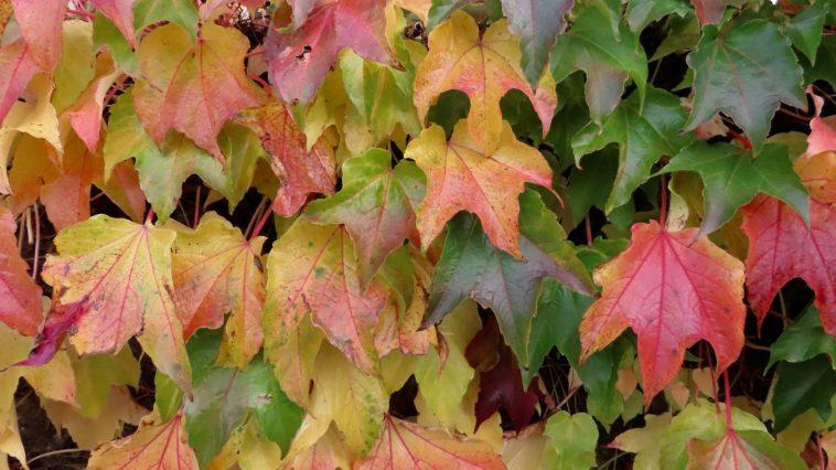 Parthenocissus Boston Ivy