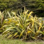 Phormium, New Zealand flax