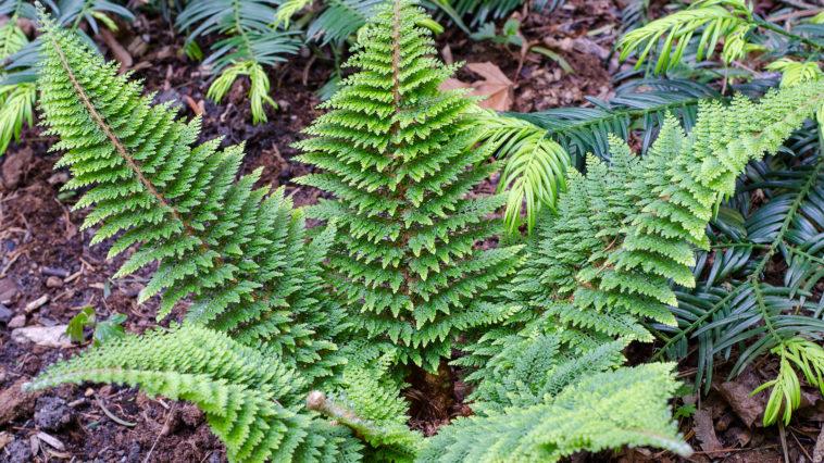Soft shield fern - Polystichum setiferum
